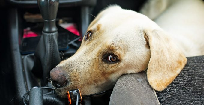 Preventing Motion Sickness in Your Dog with Cerenia