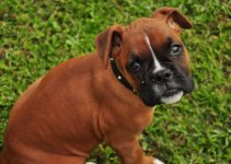 Should You Choose a Boxer or German Shepherd as Your Next Family Dog?