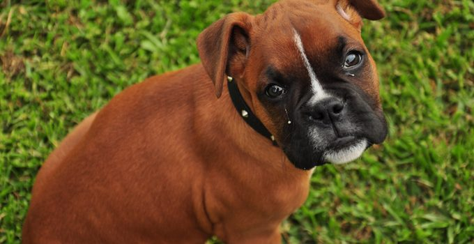 Should You Choose a Boxer or German Shepherd as Your Next Family Dog