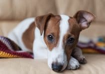 5 Best Dog Food for Jack Russell Terriers (Reviews Updated 2021)