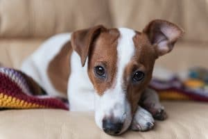 5 Best Dog Food For Jack Russells Reviews