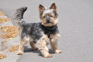 5 Best Dog Food For Yorkies Reviews
