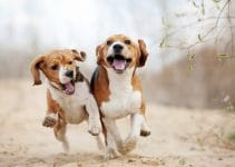 5 Best Dog Foods for Beagles (Reviews Updated 2021)