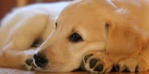 5 Best Dog Food For Golden Retrievers Reviews