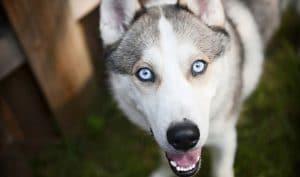 5 Best Dog Food For Huskies Reviews