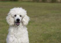 5 Best Dog Food For Poodles Reviews