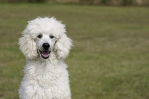 5 Best Dog Food For Poodles Reviews