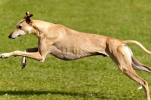 10 Fastest Dog Breeds On Earth