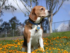 Are There Benefits To Owning Purebred Dogs