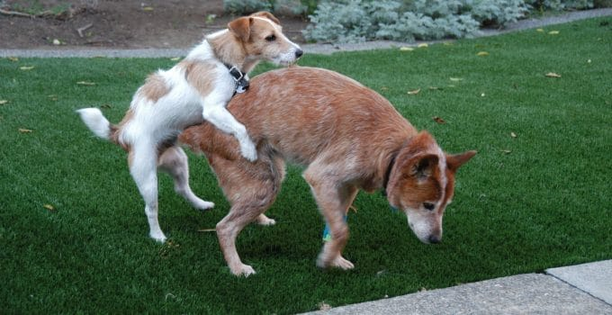 All About Humping In Dogs And How To Stop It