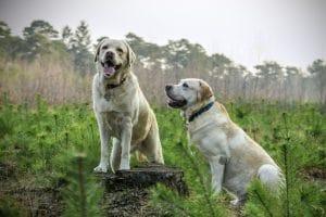 20 Best Labrador Essentials, Accessories, And Toys
