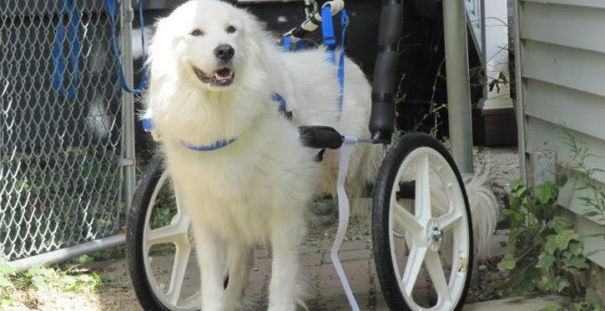 5 Best Dog Wheelchairs And Handicap Support Reviews