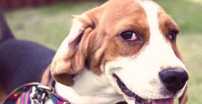 How To Recognize And Treat Cherry Eye