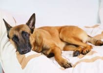 Treatment Of Whipworms In Dogs