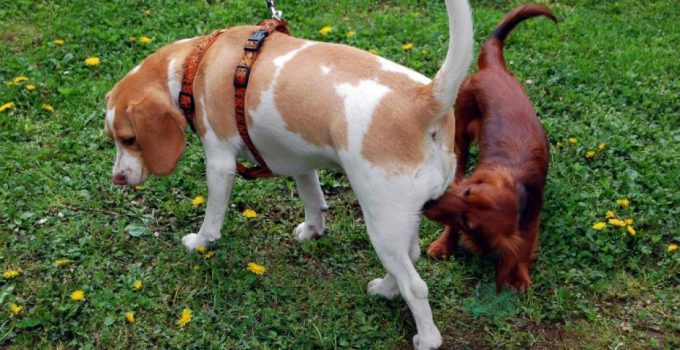 Why Do Dogs Sniff Butts