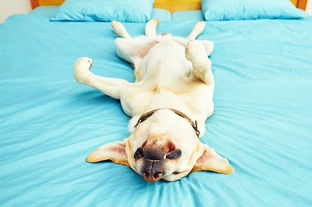 Why Do Some Dogs Snore Dog Product Picker