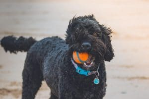 Dog Chewing A Tennis Ball At The Beach