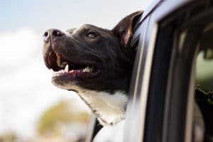 Dog Sticking Head Out Window