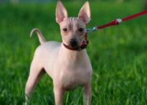 American Hairless Terrier Breed Information – All You Need To Know