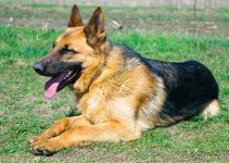 German Shepherd Breed Information All You Need To Know