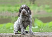 German Shorthaired Pointer Breed Information – All You Need To Know
