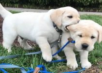 Labrador Retriever Breed Information All You Need To Know