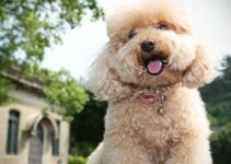 Poodle Breed Information All You Need To Know