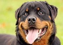 Rottweiler Breed Information All You Need To Know