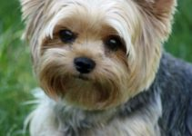 Yorkshire Terrier Breed Information All You Need To Know