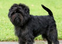 Affenpinscher Breed Information – All You Need To Know