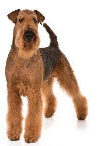 Airedale Terrier Breed Information – All You Need To Know