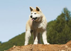 Akita Breed Information – All You Need To Know