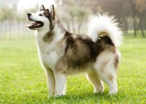 Alaskan Malamute Breed Information – All You Need to Know