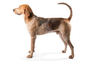 American English Coonhound Breed Information – All You Need To Know