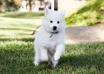 American Eskimo Dog Breed Information – All You Need to Know