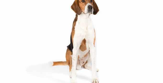 American Foxhound Dog Breed Information All You Need To Know