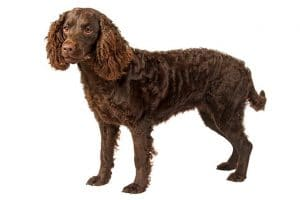 American Water Spaniel Dog Breed Information All You Need To Know
