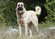 Anatolian Shepherd Dog Breed Information – All You Need To Know