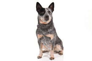 Australian Cattle Dog Breed Information – All You Need To Know