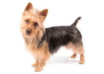 Australian Terrier Breed Information – All You Need To Know