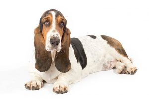 Basset Hound Breed Information – All You Need To Know