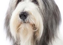Bearded Collie Breed Information – All You Need to Know