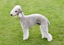 Bedlington Terrier Breed Information – All You Need to Know