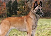 Belgian Malinois Breed Information – All You Need to Know