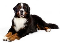 Bernese Mountain Dog Breed Information – All You Need to Know