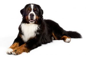 Bernese Mountain Dog Breed Information All You Need To