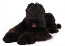 Black Russian Terrier Dog Breed Information All You Need To Know