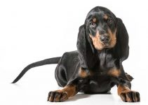 Black And Tan Coonhound Dog Breed Information All You Need To Know