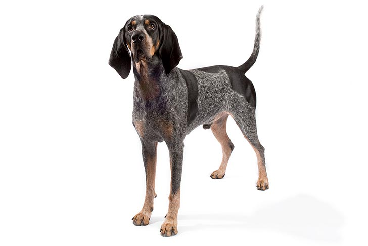 Bluetick Coonhound Dog Breed Information - All You Need to ...