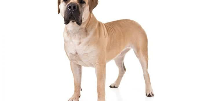 Boerboel Dog Breed Information All You Need To Know